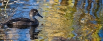 Ring-necked Duck among gold and blue water reflections