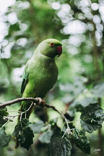 Ring Necked Parakeet Posing