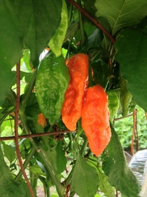 Ripe Ghost Chilies grown in southern VA