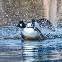 Rites of spring as Common Goldeneye drakes battle it out for the girls