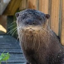 River otter in south Florida