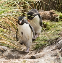 Rock Hopper Penguins demonstrating their peculiar high-stepping way of walking West Point Island