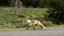 Rocky Mountain Fox Vulpes vulpes macroura - Having itself a morning stroll