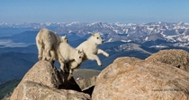 Rocky Mountain Goat kids jumping and playing at  feet