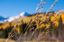 Rocky Mountain Grasses Southwest Colorado   x