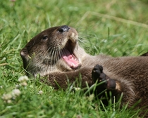ROFL Otter Lutra lutra -