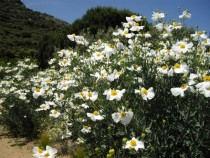 Romneya coulteri Matilija Poppy Fried Egg Poppy    pixels