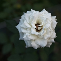 Rosa Jacven Evening Star White Rose
