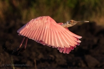Roseate spoonbill at Arthur R Marshall wildlife refuge in south Florida