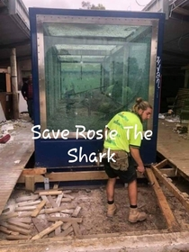 Rosie the shark while being moved to crystal world it will be a few months till her new home is open