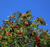 Rowan Mountain Ash in all its glory against the bluest of blue skies