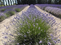 Rows of Lavender - Sequim WA