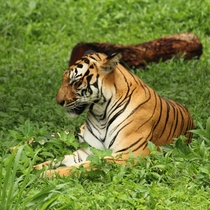 Royal Bengal tiger taking a nap