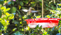 ruby-throated hummingbird Archilochus colubris