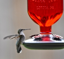 Ruby throated hummingbird Archilochus colubris -