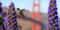 Ruby-Throated Hummingbird Archilochus colubris San Francisco