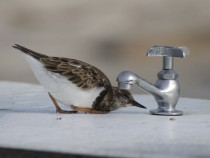 Ruddy Turnstone Arenaria interpres inspecting a spigot