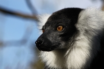 Ruffed Lemur - Howletts Wild Animal Park Canterbury