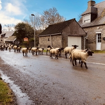 Running of the Sheep Mont Saint-Michel