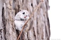 Russian Flying Squirrel By Masatsugu Ohashi