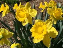 s most narcissistic bloom - Trumpet Daffodil Tweet Master