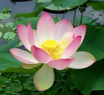 Sacred Lotus in a pond  India