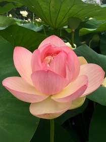 Sacred lotus Nelumbo Nucifera at Tower Grove Park in St Louis