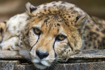 Sad Cheetah Acinonyx jubatus