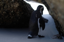 Sad penguin Boulders Beach Cape Town
