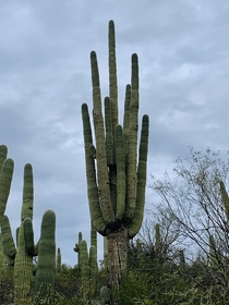 Saguaro Cactus in Spurs Crossing Cave Creek AZ x