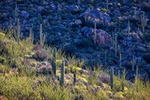 Saguaros and Ocotillos in the Morning Sun Tucson AZ USA