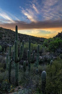 Saguaros Before Sunrise Tucson AZ USA