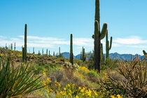 Saguaros near Browns Ranch AZ