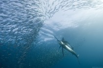 Sailfish after a school of Mackeral at the Wild Coast South Africa  photo by Alexander Safonov