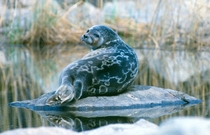 Saimaa ringed seal the worlds most endagered seal