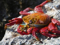 Sally Light Foot Crab Galapagos Ecuador