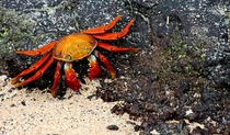 Sally Lightfoot Crab Galapagos Islands Ecuador