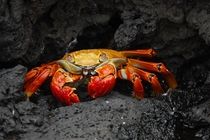 Sally Lightfoot crab on a rock ledge Galapagos Islands by Elizabeth Crapo NOAA Corps