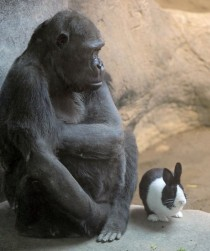 Samantha a lowland gorilla shares her space with Panda a Dutch rabbit at the zoo in Erie Pa