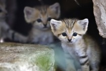 Sand kittens Felis margarita at the Ramat Gan Safari near Tel Aviv