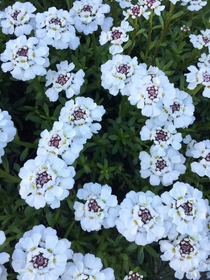 Saw this Candytuft  and as rockeries are back in vogue thought I would post it