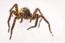 Say hello to my little friend the wolf spider on the snow