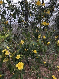 SC State flower in bloom all over the woods Carolina jessamine Gelsemium sempervirens OC  x