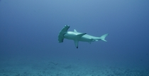Scalloped Hammerhead Sphyrna lewini near Hawaii