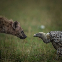 Scavenger face off in the Maasai Mara National Park Hyena vs Vulture
