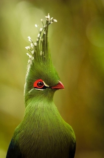 Schalows Turaco Bird