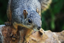 Sciurus carolinensis eastern gray squirrel