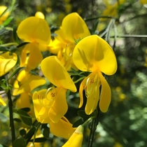Scotch Broom Cytisus scoparius Point Reyes National Seashore California