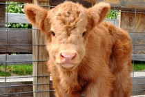Scottish Highland Calf Bos Taurus
