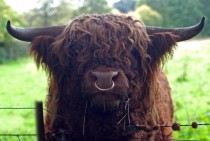 Scottish Long-Horned Bull